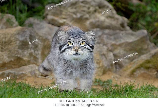 Pallas's Cat Felis manul adult standing, summer coat