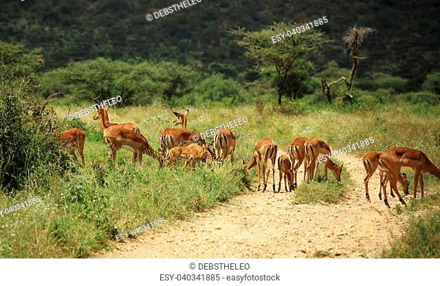 A group of gazelle's in Samburu Kenya Africa