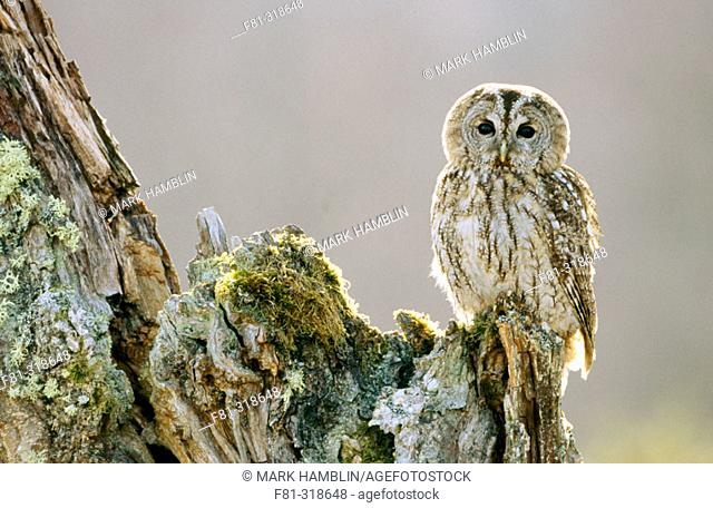 Tawny olw (Strix aluco). Adult perched on birch in early morning sun. Cairngorms National Park. Scotland. UK