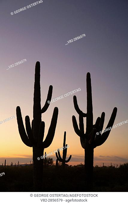Saguaro dawn along Ajo Mountain Drive, Organ Pipe Cactus National Monument, Arizona