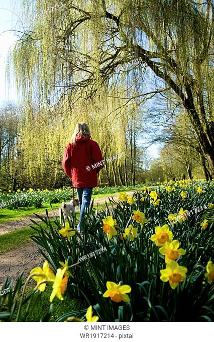 A woman in a red coat standing on a path in a garden with flowering daffodils