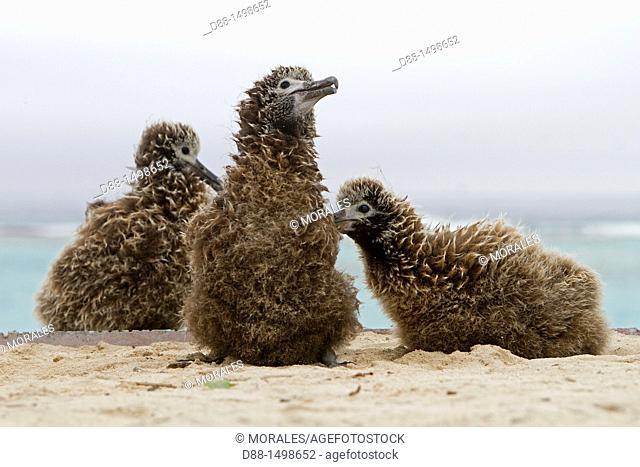 Hawaï , Midway , Sand Island , Laysan Albatross ,  Phoebastria immutabilis , young