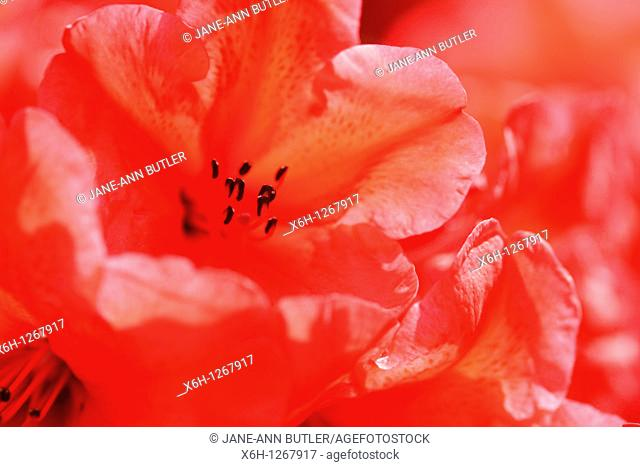 Charming Red Azaleas with an Orange Flare