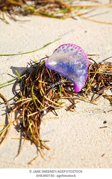 Portuguese man of war jelly-like marine invertebrate, Cocal Beach, Little Corn Island, Corn Islands, Nicaragua