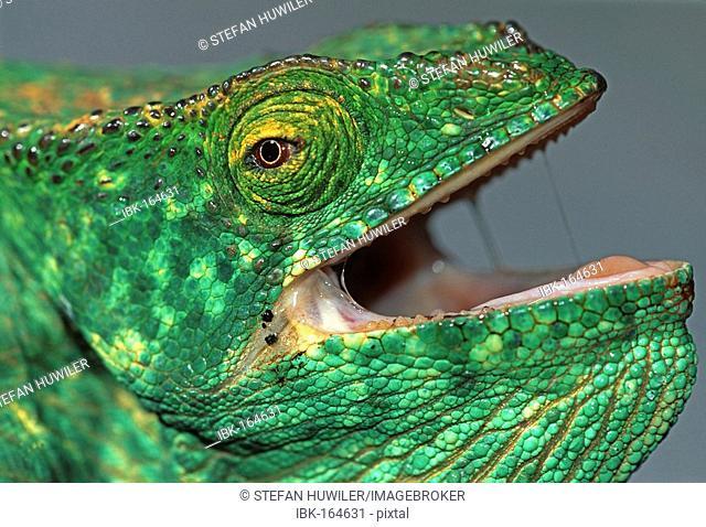Parson's Giant Chameleon, Calumma parsonii, Madagascar, Africa
