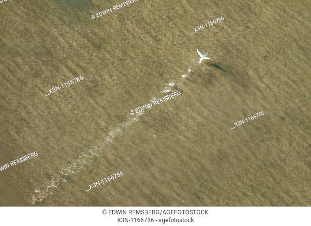 Bird skimming across the water