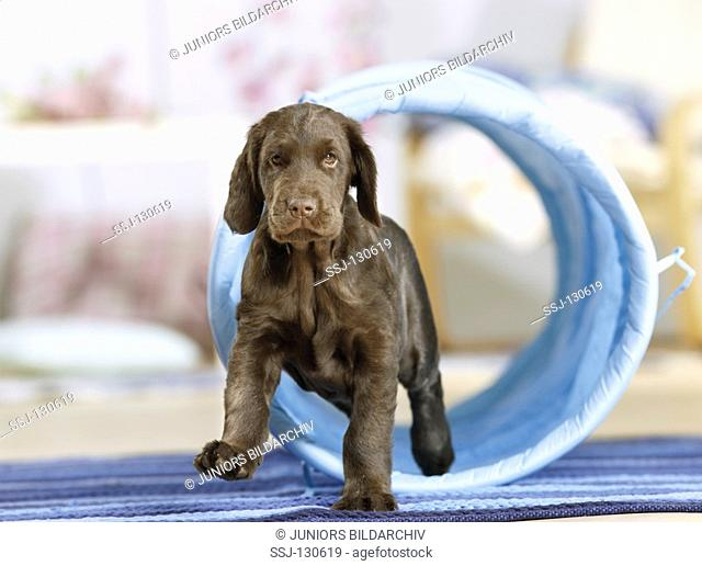 Agility : Flat Coated Retriever puppy - in front of tunnel