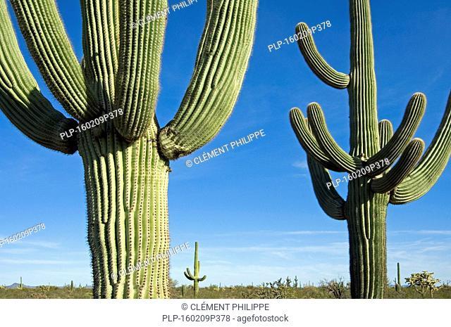 Saguaro cacti (Carnegiea gigantea / Cereus giganteus / Pilocereus giganteus) in the Sonoran desert, Arizona, USA
