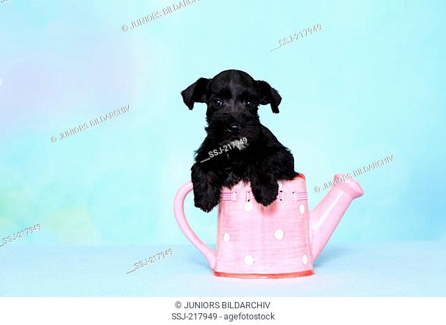 Miniature Schnauzer. Puppy in a pink watering can with white polka dots. Studio picture against a light blue background. Germany
