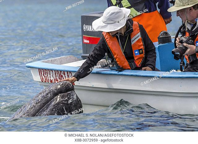 Adult California gray whale, Eschritius robustus, with tourists in San Ignacio Lagoon, Baja California Sur, Mexico