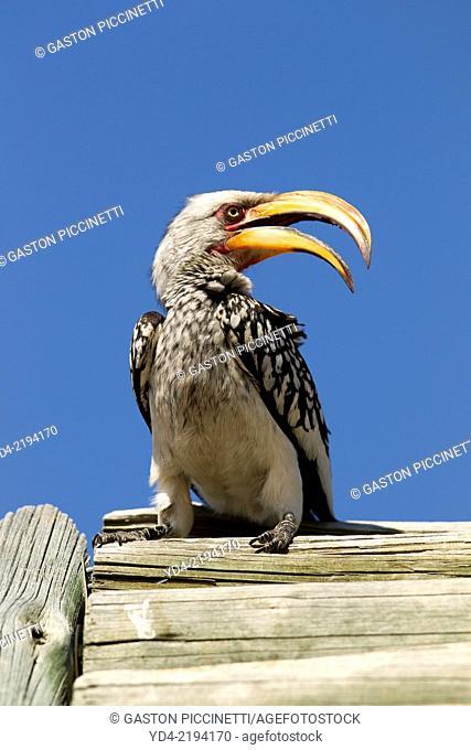 Yellowbillled Hornbill (Tockus flavirostris), Kruger National Park, South Africa
