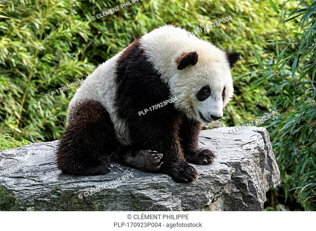 Giant panda (Ailuropoda melanoleuca) one-year old cub sitting on rock in bamboo forest