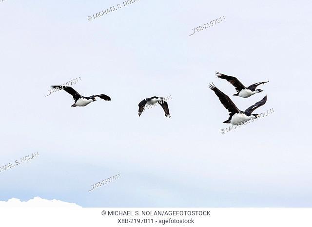 Antarctic shags, Phalacrocorax [atriceps] bransfieldensis, in flight formation near Petermann Island, Antarctica