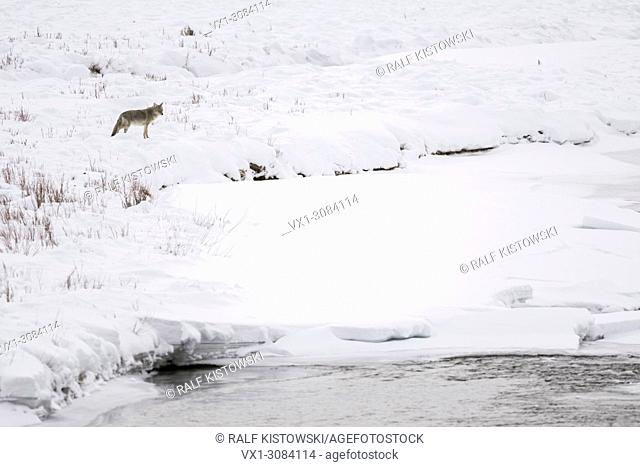 Coyote ( Canis latrans ), in winter, high snow, on distance, watching over a river, river bank, Yellowstone NP, USA