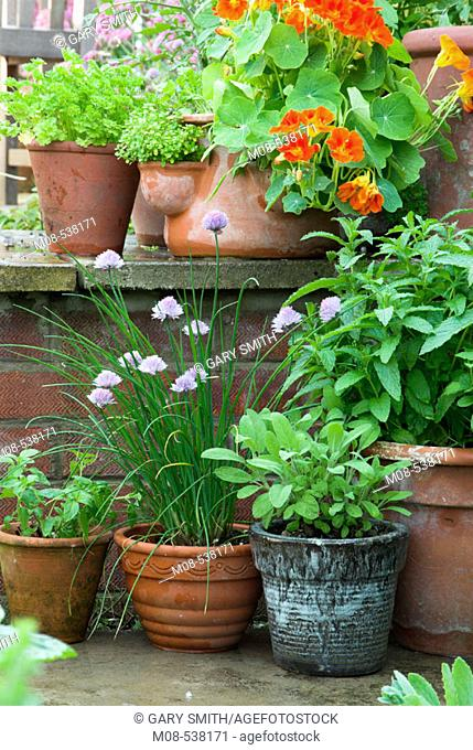Herbs in pots on garden patio in summer, including mint parsley, nasturtiums parsley and sage