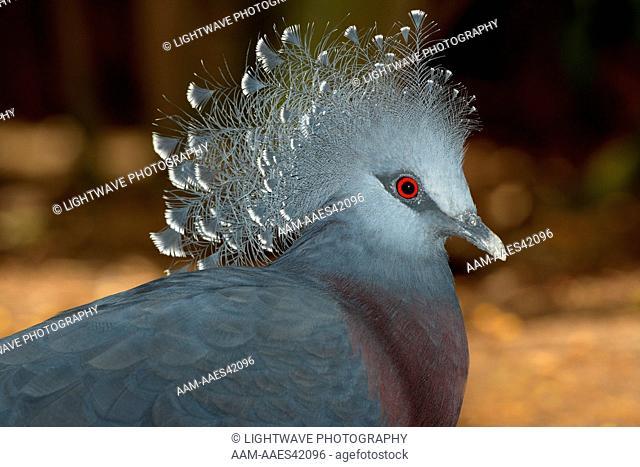 Victoria Crowned Pigeon (Goura victoria) New Guinea San Diego Zoo, CA