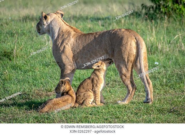 A female lion nursing her cubs (Panthera leo) in Maasai Mara National Park, Kenya, Africa