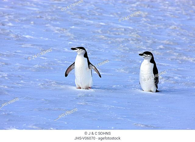Chinstrap Penguin, (Pygoscelis antarctica), Antarctica, Brown Bluff, adult couple in snow spread wings