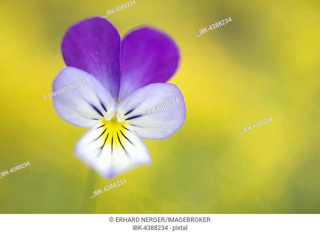 Heartsease (Viola tricolor), Emsland, Lower Saxony, Germany