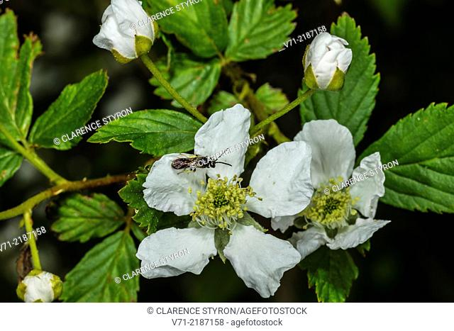Plasterer Bee (Hylaeus sp.) on Running Raspberry (Rubus sp.)
