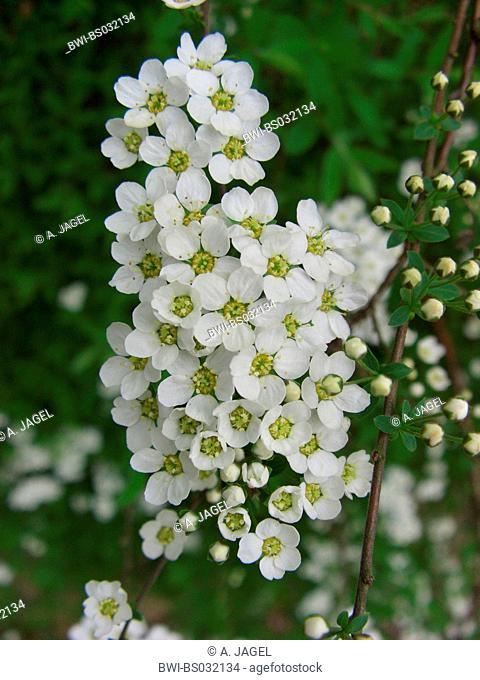 Garland Wreth (Spiraea x arguta, Spiraea arguta, Spiraea multiflora x Spiraea thunbergii), inflorescence