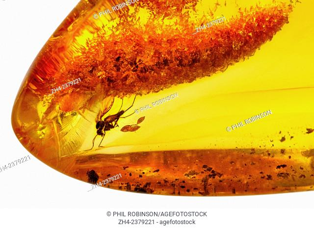 Prehistoric fly preserved in Baltic Amber (Lithuania)