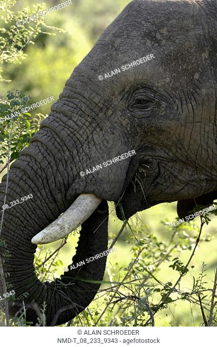 Close-up of an African Elephant loxodonta africana, Kruger Park, South Africa