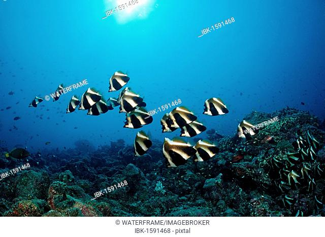 School of Bannerfish (Heniochus), Indian Ocean, Maldives Island