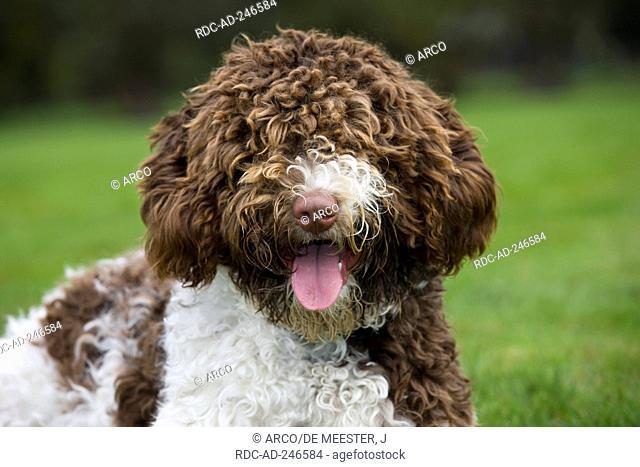 Perro de Agua Espanol Spanish Water Dog