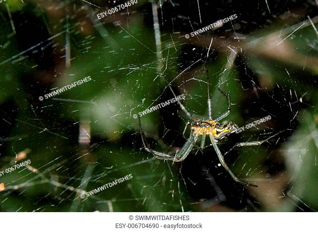An orb-weaver spider in its messy web
