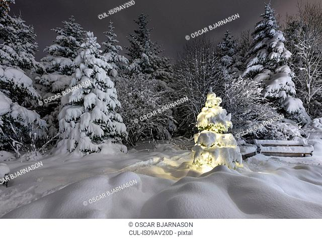 Illuminated snow covered Christmas tree in forest in botanical gardens, Reykjavik, Iceland