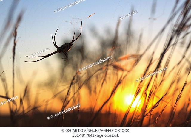 Lobed argiope spider Argiope lobata at sunset  Lleida  Catalonia  Spain