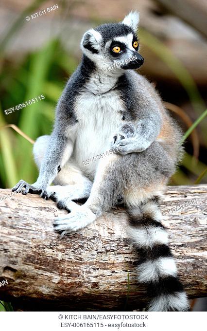A close up shot of a Ring Tailer Lemur