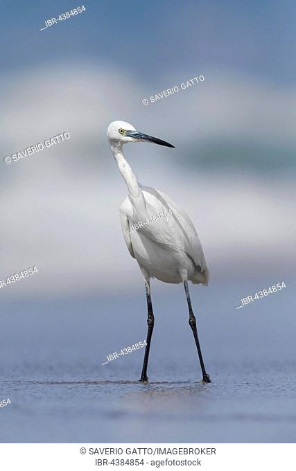 Little Egret (Egretta garzetta), standing on the shore, Eboli, Campania, Italy