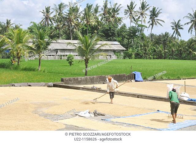 Ubud (Bali, Indonesia): women at work, cleaning rice by a paddy
