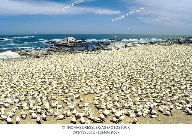 Cape Gannet Morus capensis - Colony at the Bird Island of Lambert's Bay at the Atlantic Ocean, South Africa
