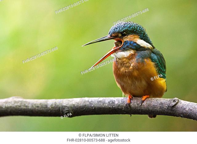 Common Kingfisher Alcedo atthis adult, regurgitating pellet, perched on branch overhanging river, The Broads N P , Norfolk, England, may