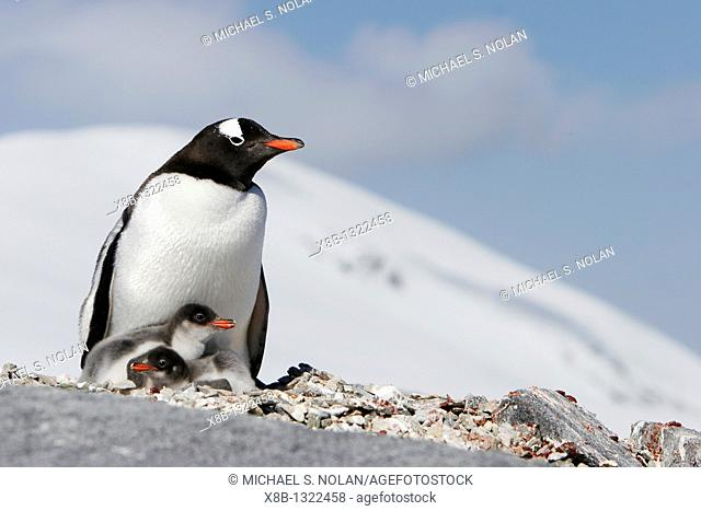 Gentoo penguin Pygoscelis papua parent with two downy chicks on Pleneau Island, near the Antarctic Peninsula