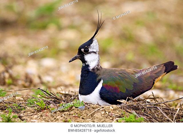 northern lapwing (Vanellus vanellus), breeding on the ground, side view, Germany