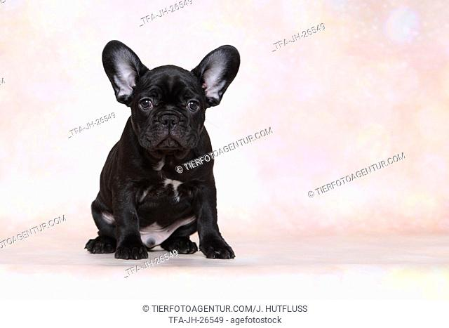 sitting French Bulldog Puppy