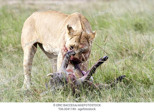 African Lion (Panthera leo) female feeding on a warthog kill (Phacochoerus africanus), Masai Mara National Reserve, Kenya, Africa