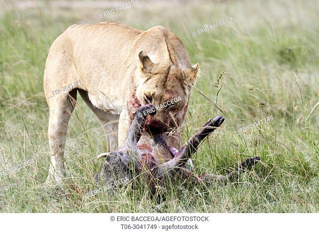 African Lion (Panthera leo) female feeding on a warthog kill (Phacochoerus africanus), Masai Mara National Reserve, Kenya, Africa
