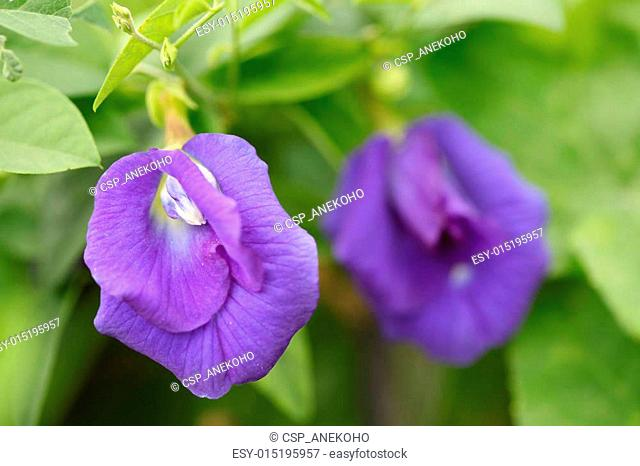 Butterfly pea flower in garden