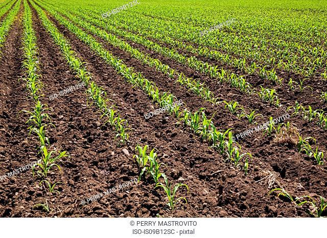 Corn plant seedlings in field