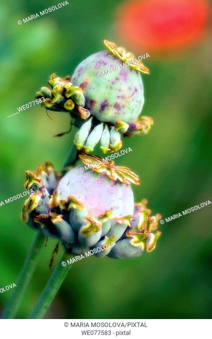 Poppy Seedheads. Papaver paeoniflorum. July 2007, Maryland, USA