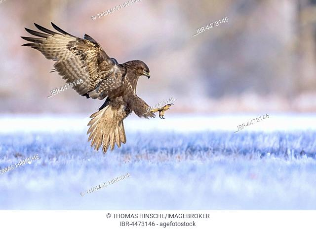 Common Buzzard (Buteo buteo) in flight, foraging in winter, Middle Elbe Biosphere Reserve, Saxony-Anhalt, Germany
