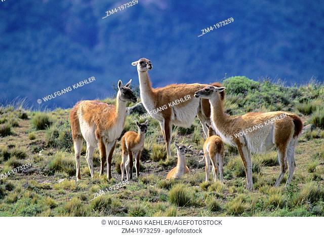CHILE, TORRES DEL PAINE NAT'L PARK, GUANACOS, FAMILY GROUP WITH BABIES (CHULENGOS)