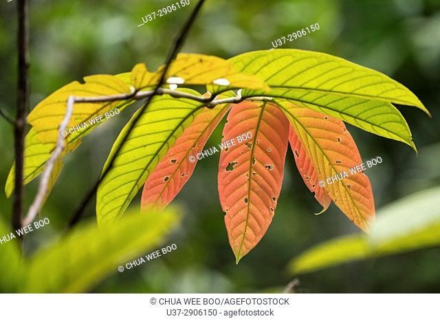 Leaves. Semengoh Wildlife Centre, Kuching, Sarawak, Malaysia
