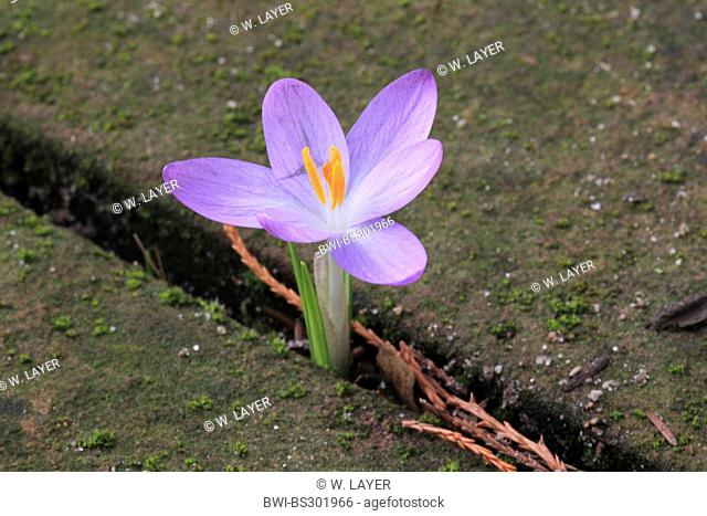 Early Crocus (Crocus tommasinianus), naturalized crocus in a pavement joint, Germany