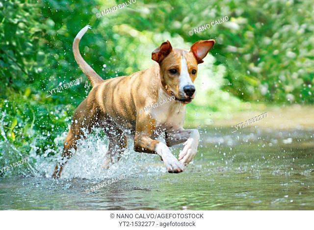 Young dog playing and having fun at Cega River, Segovia, Spain